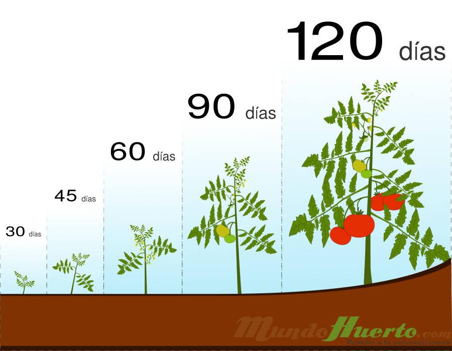 Cuánto Tarda Una Tomatera En Dar Tomates