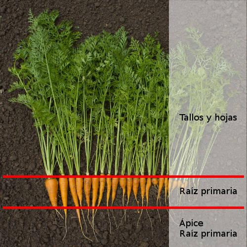 Que Parte De La Planta Es La Zanahoria Nuestro chef le revelará de forma práctica los secretos del arte. mundo huerto