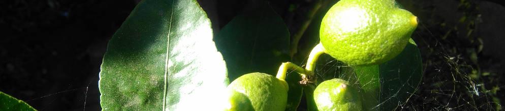Poca de poda del limonero - Poda de hortensias epoca ...