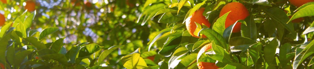 Poca de poda del naranjo - Poda de hortensias epoca ...